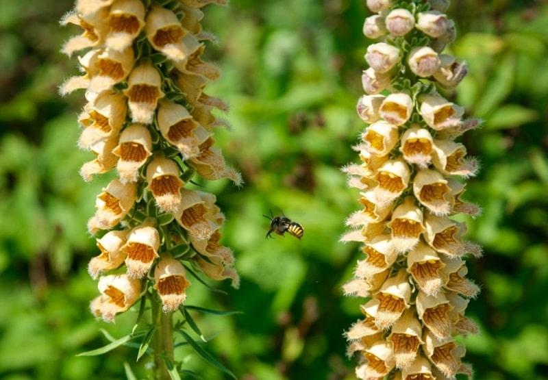 خواص درمانی Digitalis lanata - گونه ای از گل انگشتانه