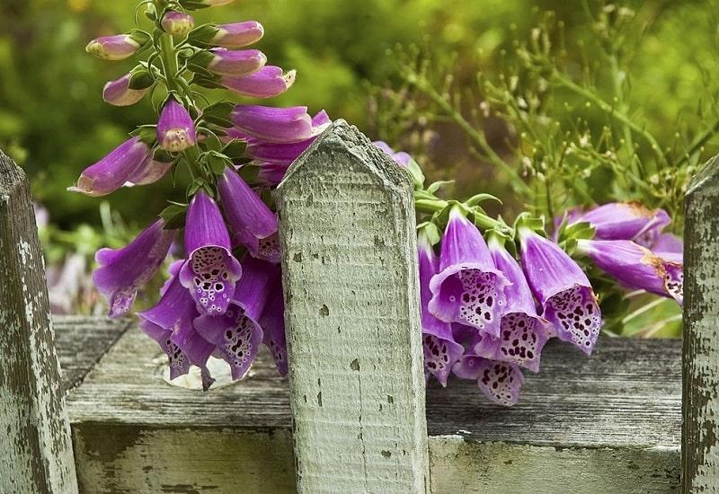درمان ضعف قلب با گل انگشتانه