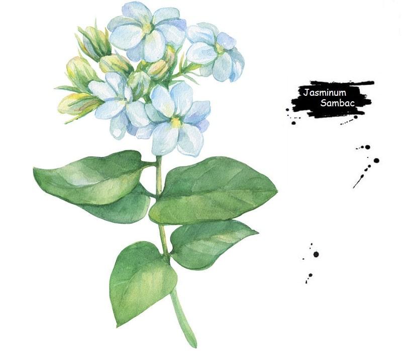 خواص درمانی گل رازقی