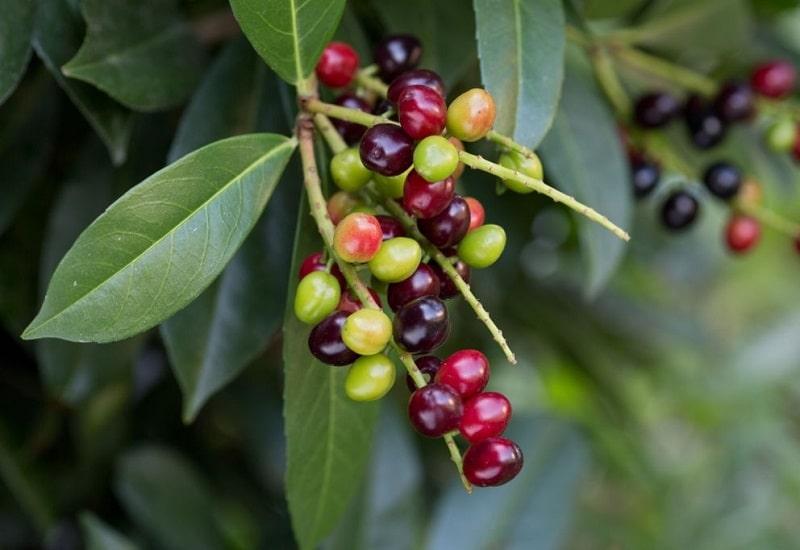 اثرات درمانی میوه درخت برگ بو