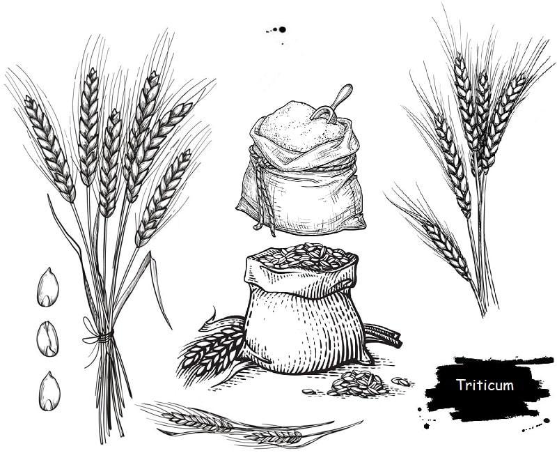 گیاه گندم از تیره گندم