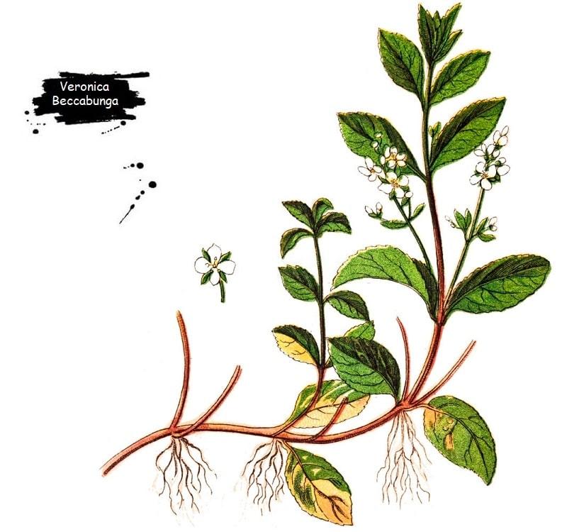 گیاه سیزاب از تیره گل میمون