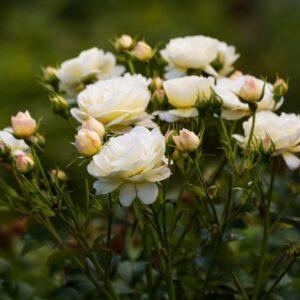 کاسه گل