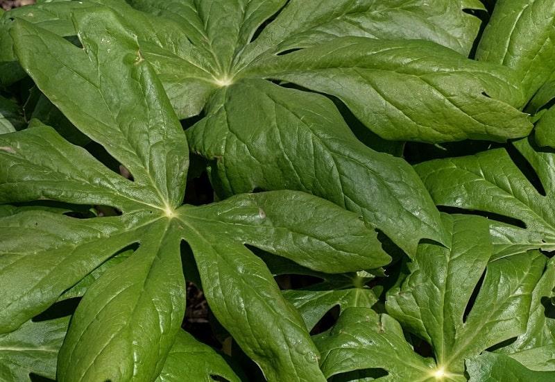 بتا - پل تاتین موجود در گیاه پودوفیل