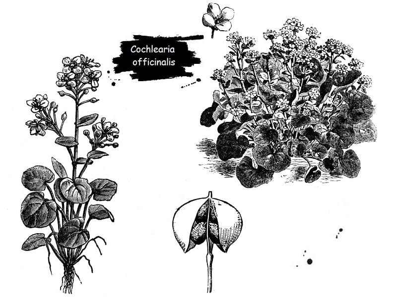 گیاه Cochlearia officinalis از تیره شب بو