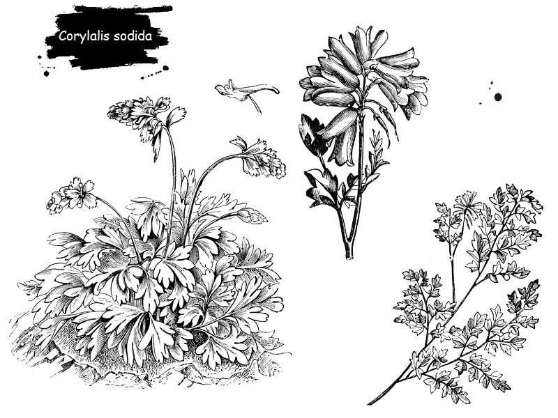 ترکیبات شیمیایی Corylalis sodida