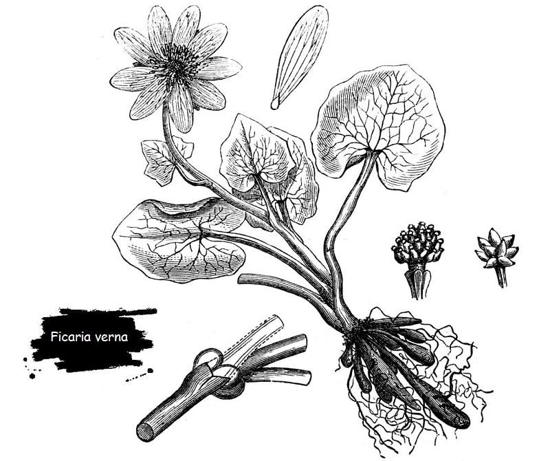 گیاه انجیرک از تیره آلاله
