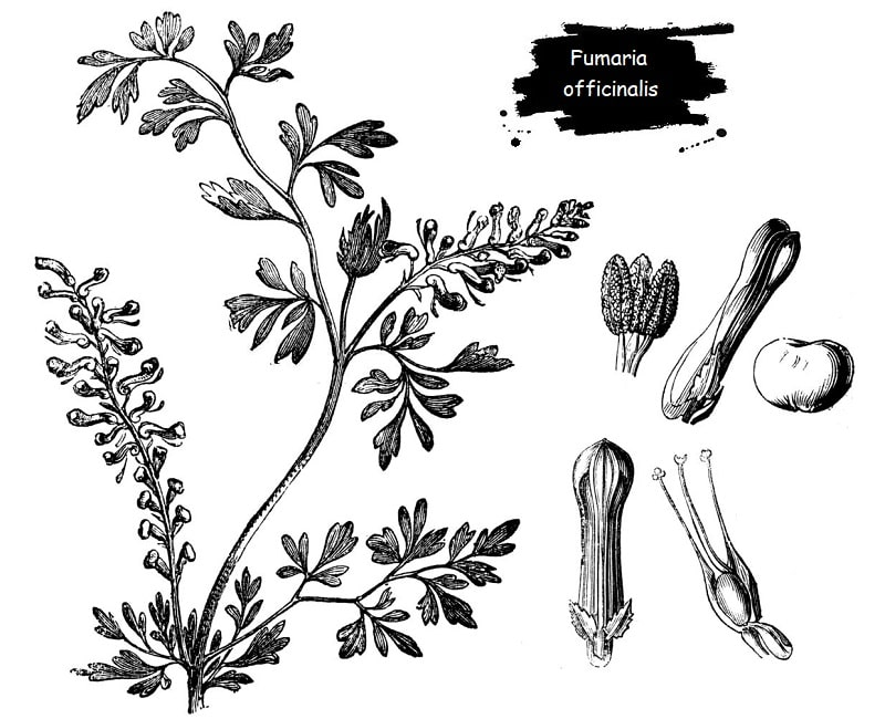ترکیبات شیمیایی Fumaria officinalis