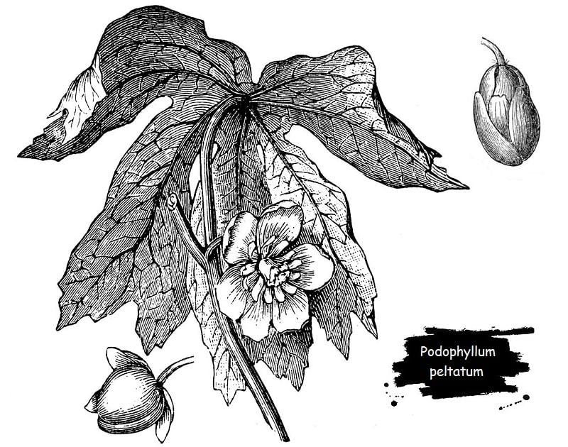 پودوفیل یا گیاه چتر از تیره زرشک