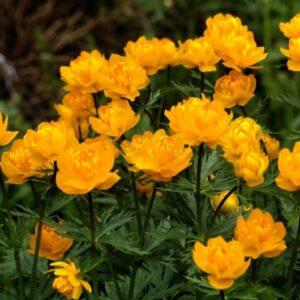گل کره ای اروپایی