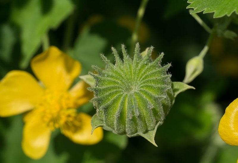 خواص درمانی Abutilon indicum