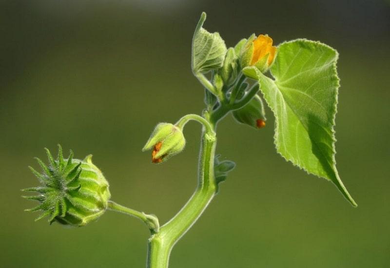 Abutilon Theophrasti گونه ای از Abutilon indicum