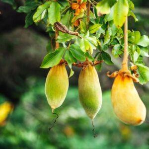 درخت بائوباب