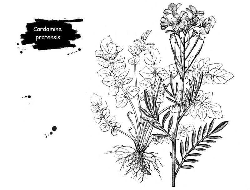 Cardamine pratensis (گل کاکوو) از تیره شب بو