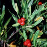 تیره Cneoraceae