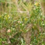 Cneorum tricoccum