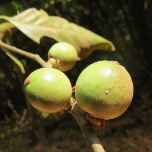 Garcinia hanburyi