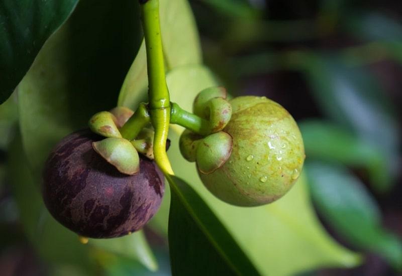 Garcinia Mangostana گونه ای از تیره کلوزیاسه