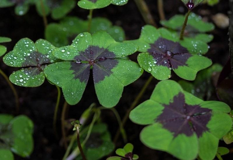 Oxalis Deppei گونه ای دیگر از گیاه Oxalis crenata