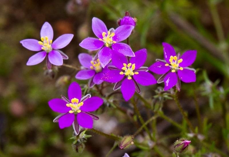 محل رویش Spergularia rubra