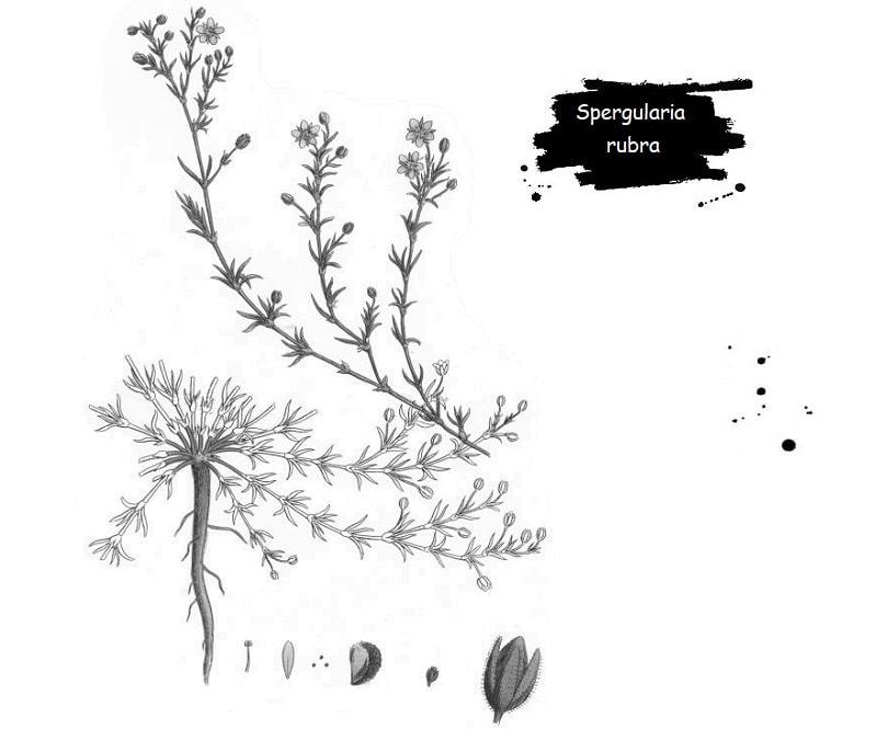 خواص درمانی Spergularia rubra