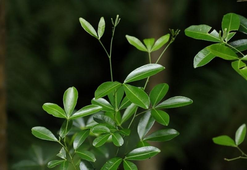 Toddalia asiatica گونه ای از گیاهان تیره نارنج