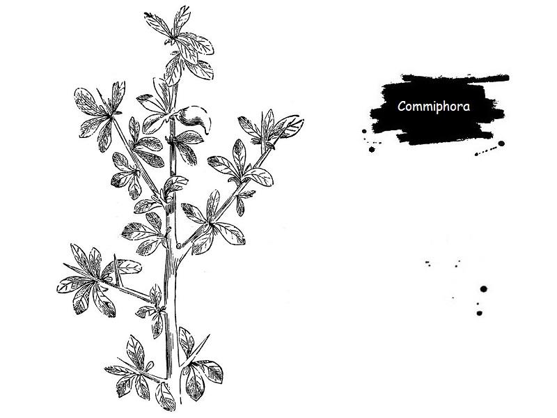 Commiphora درختچه ای خاردار از تیره بورسراسه