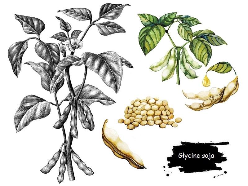 گیاه سوژا از تیره پروانه واران