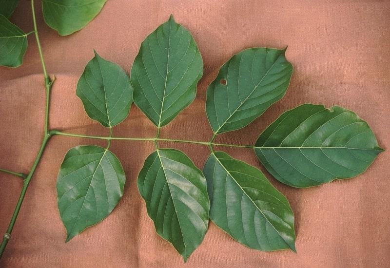 ترکیبات شیمیایی Pongamia glabra