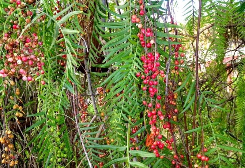 Schinus molle درختی از تیره پسته