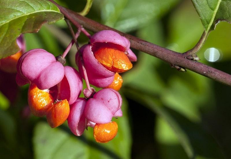 خواص درمانی Evonymus atropurpureus