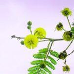 Acacia arabica