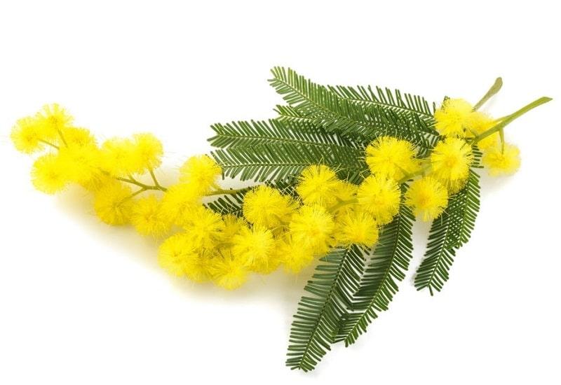 Acacia dealbata از انواع Acacia ها