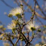 Albizzia anthelmintica