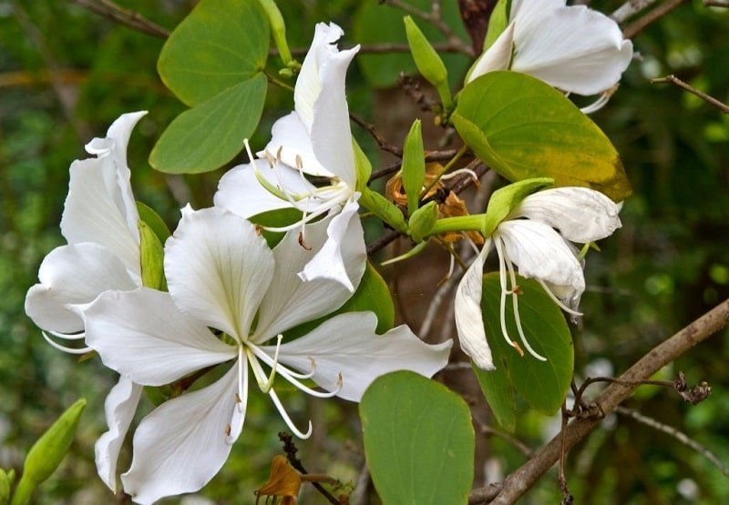 خواص درمانی Bauhinia variegata