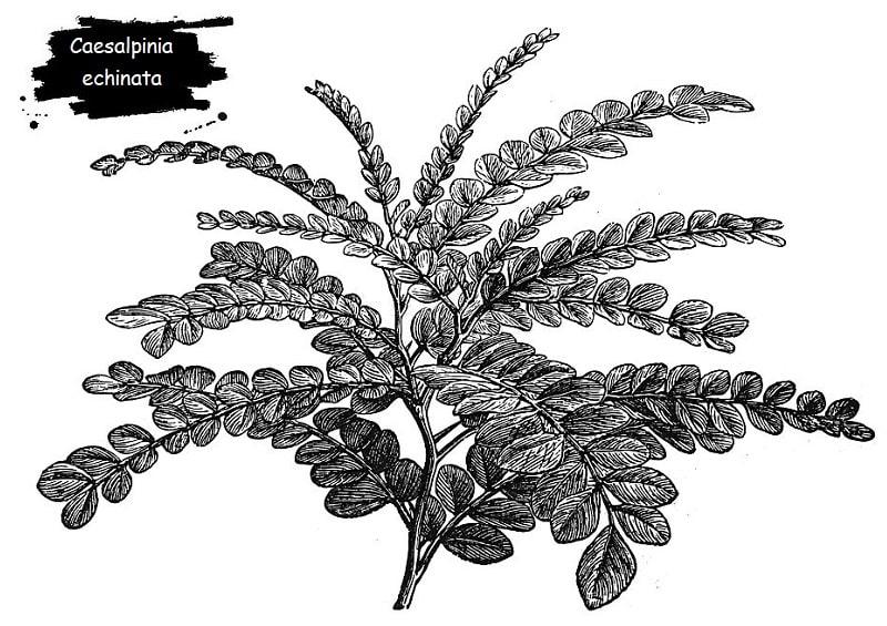 Caesalpinia echinata از تیره فرعی گل ارغوان