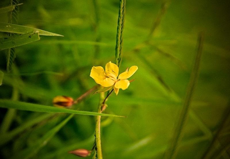 خواص درمانی Cassia occidentalis