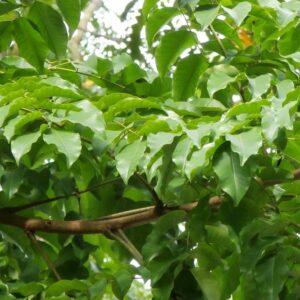 Erythrophloeum guineense