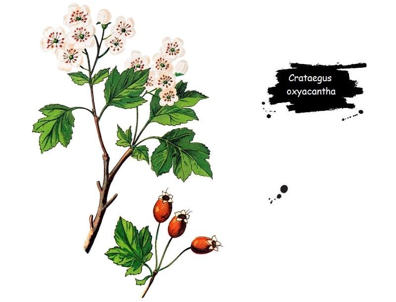 Crataegus oxyacantha  از تیره گل سرخ
