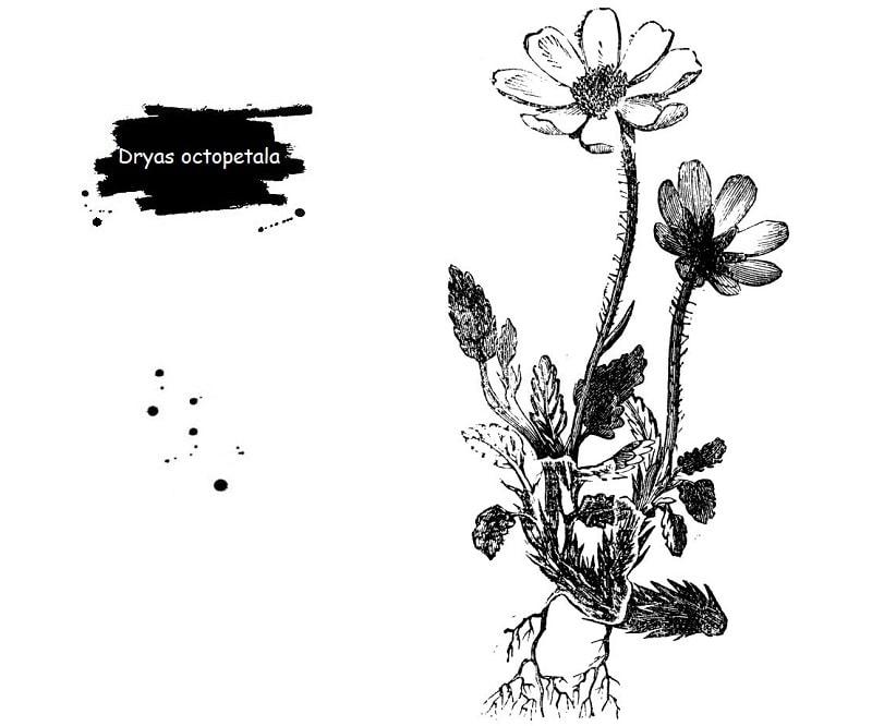 Dryas octopetala از تیره گل سرخ