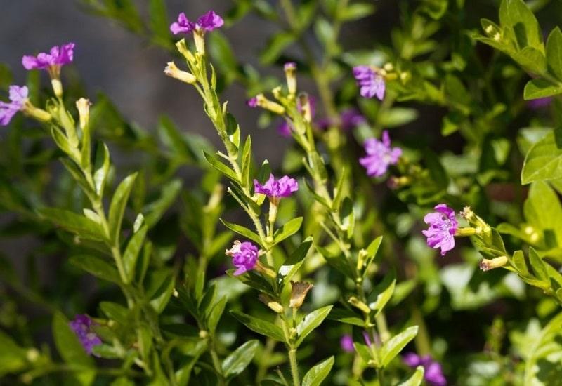 خواص درمانی Lythrum hyssopifolia