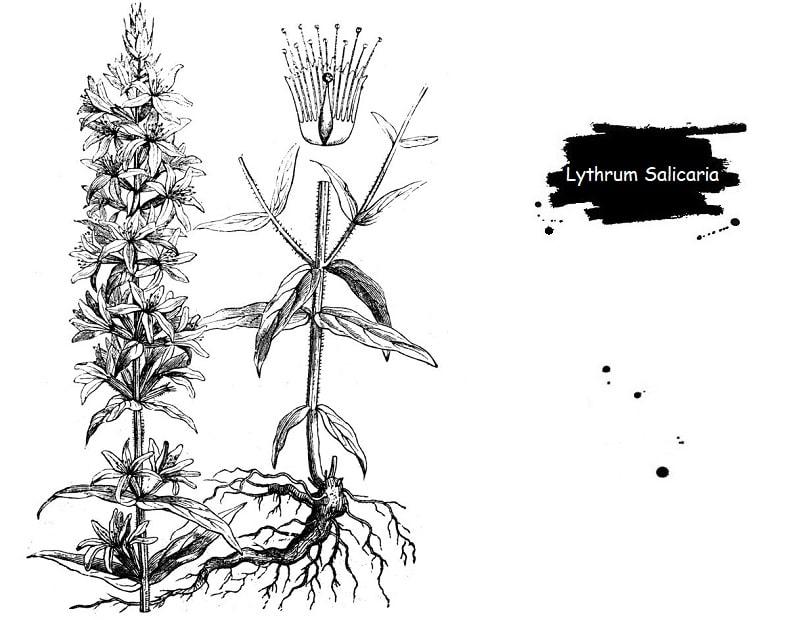 خون فام گیاهی از تیره حنا