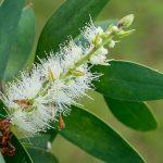 Melaleuca Leucadendron