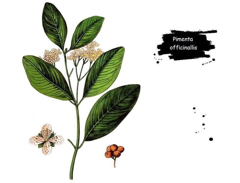 ترکیبات شیمیایی Pimenta officinallis