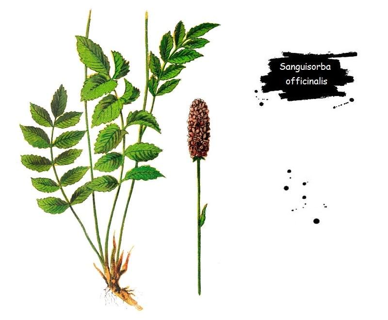 Sanguisorba officinalis یا توت روباهی طبی از تیره گل سرخ