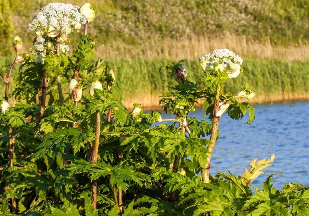 Berula angustifolia
