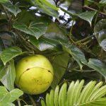 Fevillea cordifolia