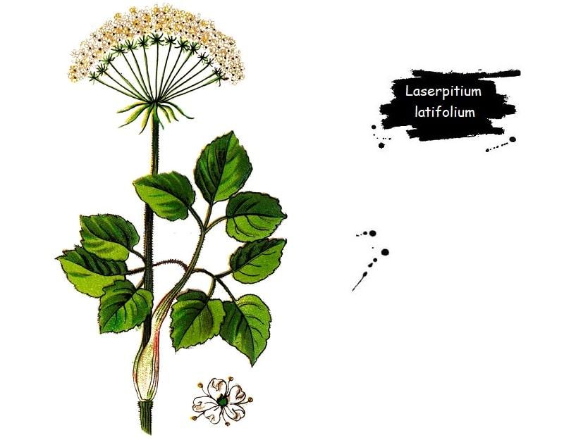 ترکیبات شیمیایی Laserpitium latifolium