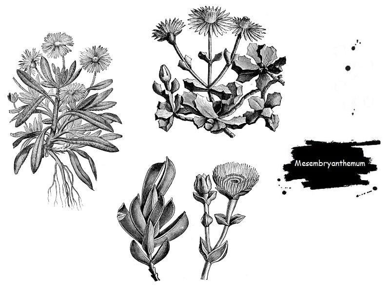 Mesembryanthemum ها از تیره فیکوئیداسه