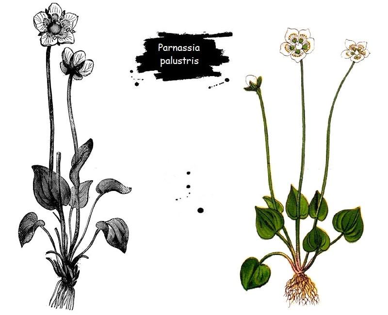 گیاه آلاله سفید از تیره انگورک